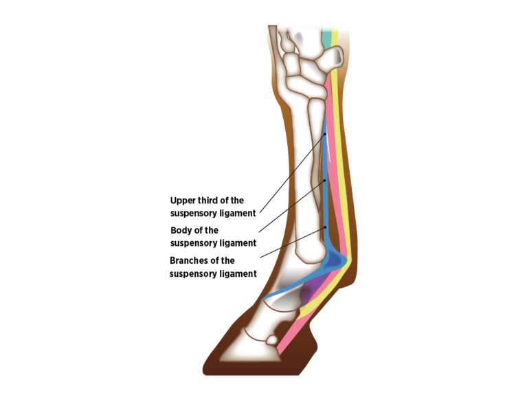What are the most common racehorse injuries?